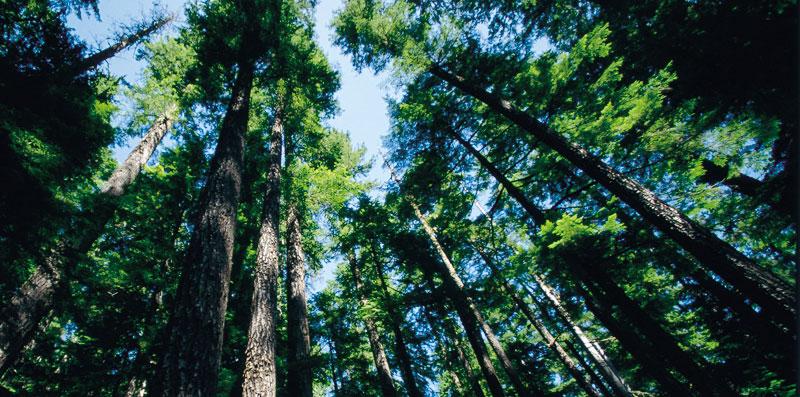 Cedar, Cypress & Pine Wood Species